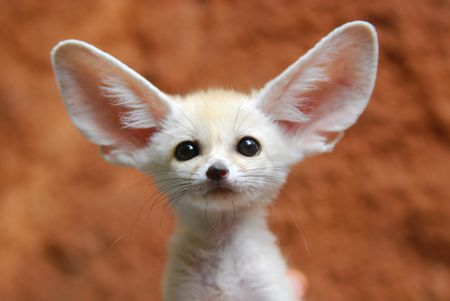 Wonderful Animals With The Biggest Ears In The World Jonathan H